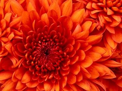 Chrysantheme